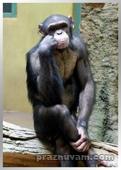 Мъдра маймуна