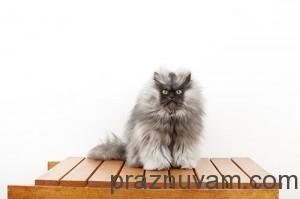 Полковник Мяу - котката с най-дълга козина в света